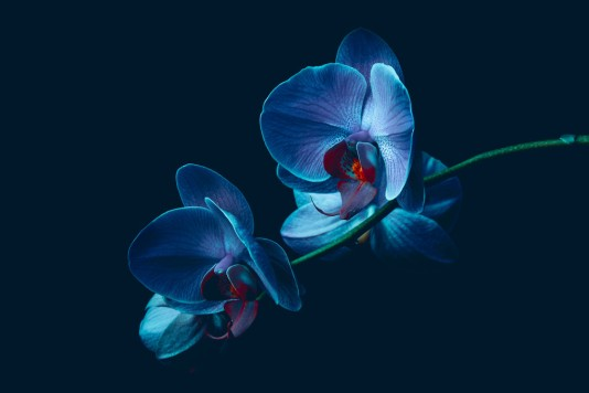 blue-orchid-1024x683