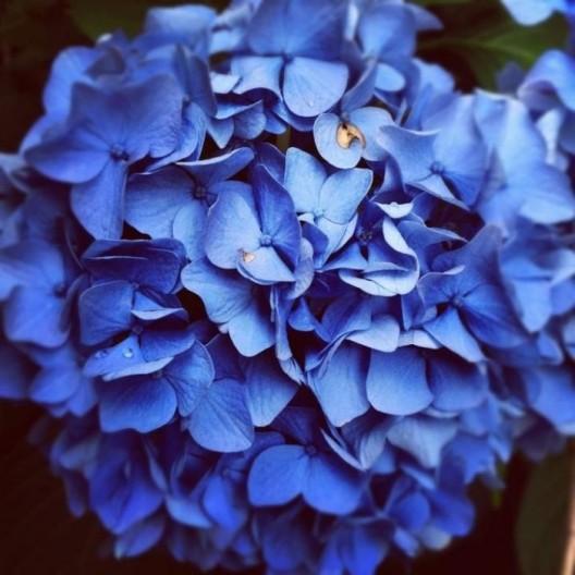 blue-hortensia-700x700